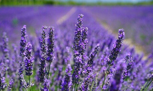 Jako v Provence se můžete cítit díky krásné aktivitě rodiny Bízových, která provozuje ve Starovičkách na Břeclavsku levandulovou farmu: pole, obchod i chráněnou dílnu.