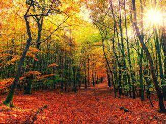 Podzimní cesta v listnatém lese. Čevené listy na zemi, žluté na stromech.