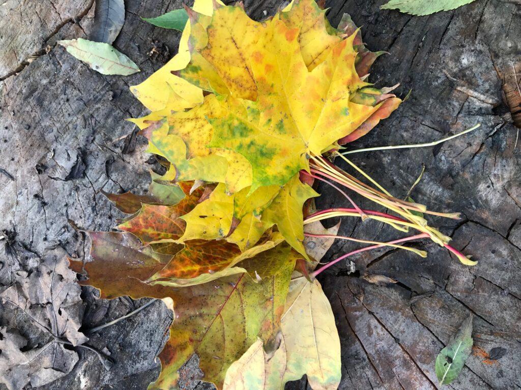 Žluté javorové listy.