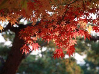 Červené listy na stromě.