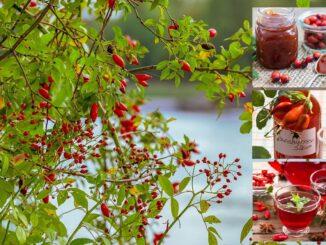 Šípkový keř a koláž výrobků ze šípků
