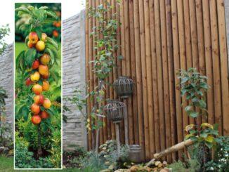 Sloupovitý ovocný stomek na zahradě.