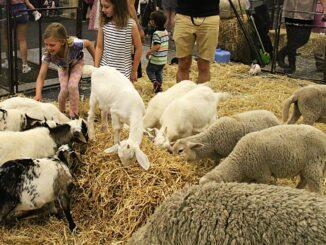 Ovce a koza žerou seno.
