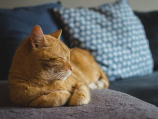 Zrzavá kočka pospává na gauči.