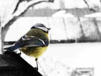 Sýkorka v zimě.