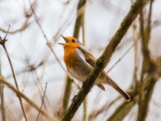 Zpívající pták na větvi.