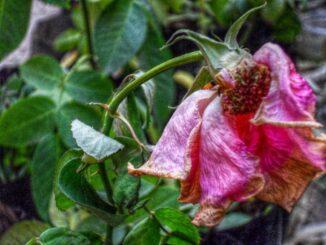 Odvketlá růže.