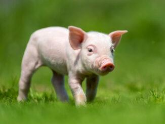 Malé prasátko na trávě.