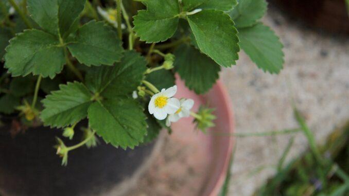 Kvetouci jahoda v kvetináči