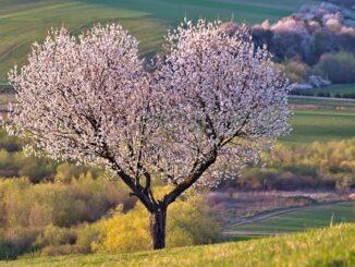 Rozkvetlý strom uprostřed louky.