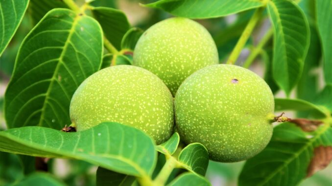 Zelené ořechy.