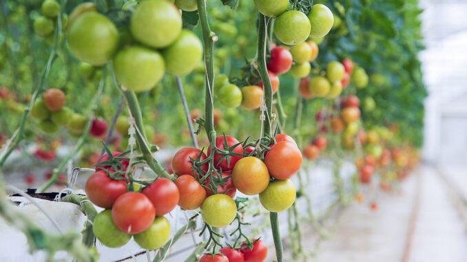 Zrala i nezralá rajčata na keříku.